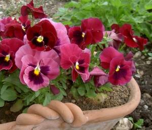 viola_tricolor1