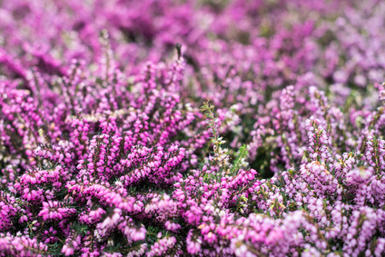 Purple and pink blooming common heather